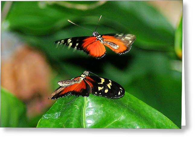 Little Critters Greeting Cards - Two Butterflies  Greeting Card by Jeff  Swan