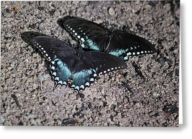 Spicebush Swallowtail Greeting Cards - Two by Two Greeting Card by Suzanne Gaff