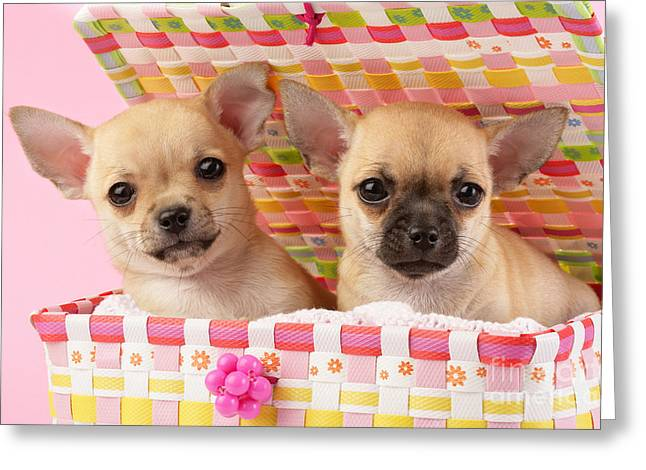 Two Chihuahuas Greeting Card by Greg Cuddiford