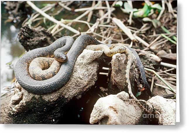 Morph Greeting Cards - Two Color Morphs Of Northern Water Snake Greeting Card by Gregory G. Dimijian, M.D.