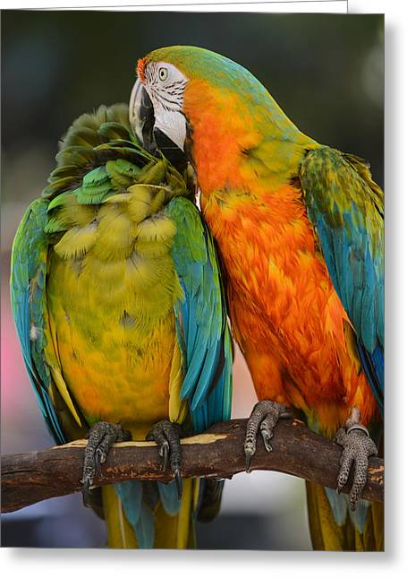 Mccaw Greeting Cards - Two Colorful Macaws Greeting Card by Brandon Bourdages