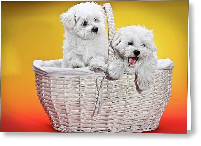 Two Cute White Puppies In Basket Greeting Card by Photostock-israel