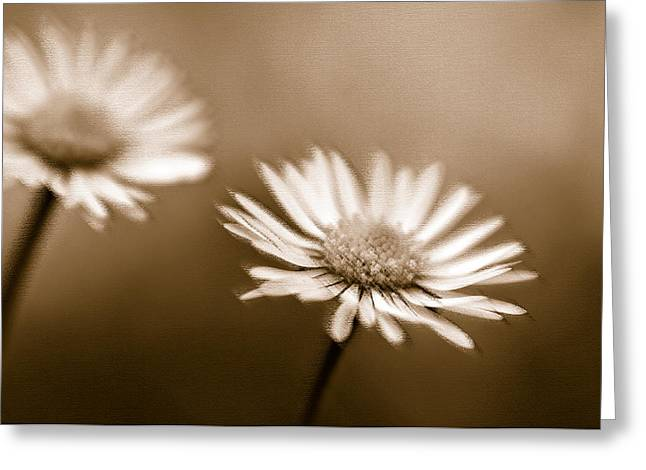 Duo Tone Greeting Cards - Two Daisies Greeting Card by Edward Pollick