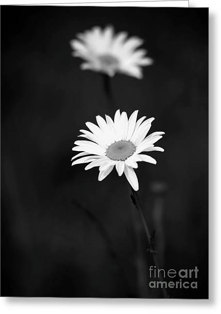 Florida Flowers Greeting Cards - Two Daisies Greeting Card by Sabrina L Ryan