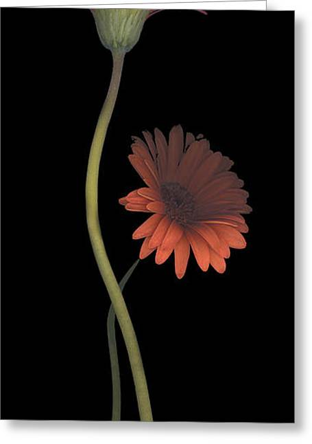 Two Daisies Tall Right Greeting Card by Heather Kirk