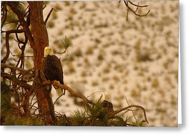 Eagle Feathers Greeting Cards - Two Eagles Hanging Out In Their Nest Greeting Card by Jeff  Swan