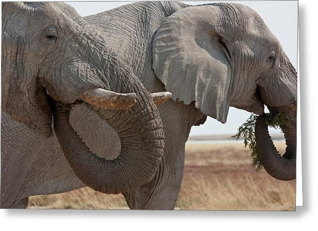 Two Elephants (loxodonta Africana Greeting Card by Jaynes Gallery