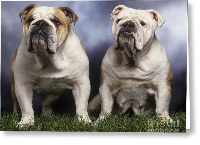 Happy Couple Greeting Cards - Two English Bulldogs Greeting Card by Jean-Michel Labat