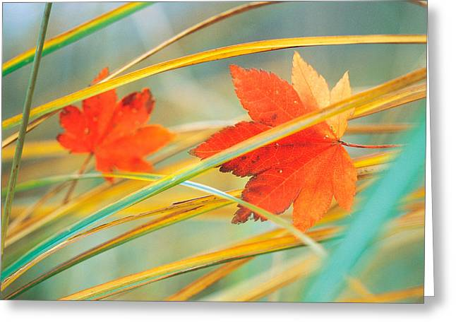 Colors Of Autumn Greeting Cards - Two Fall Orange Fall Leaves Amid Yellow Greeting Card by Panoramic Images