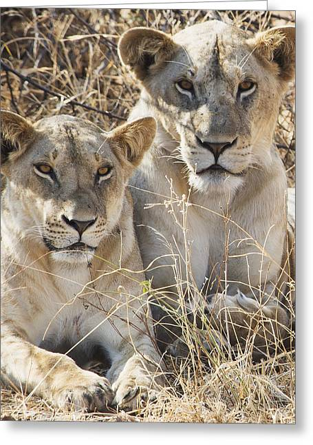 Full-length Portrait Greeting Cards - Two Female Lions Sitting In The Grass Greeting Card by Diane Levit