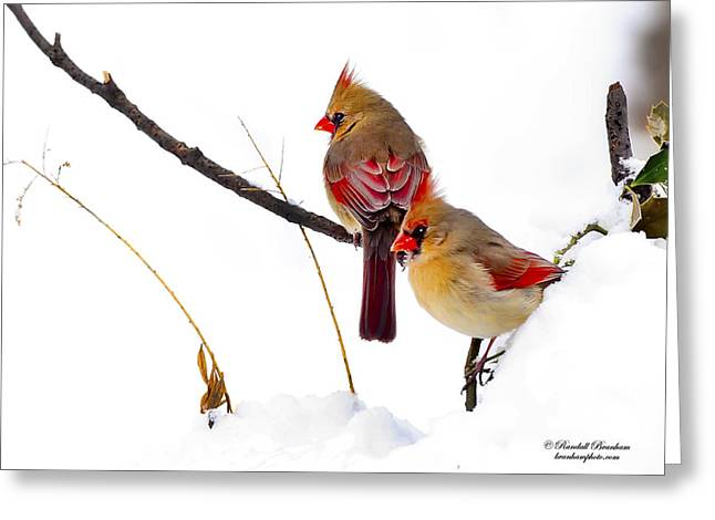 Two Females Posing As Cardinals Greeting Card by Randall Branham