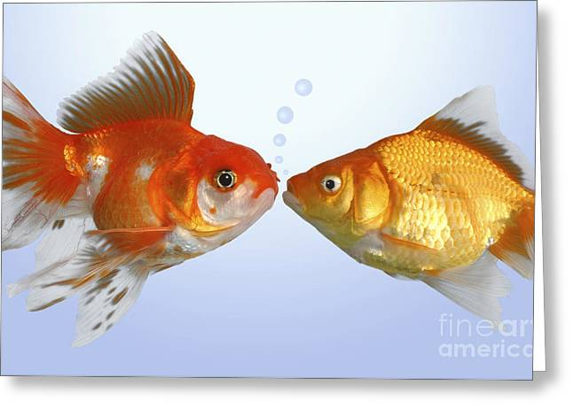 Two Fish Kissing Fs502 Greeting Card by Greg Cuddiford