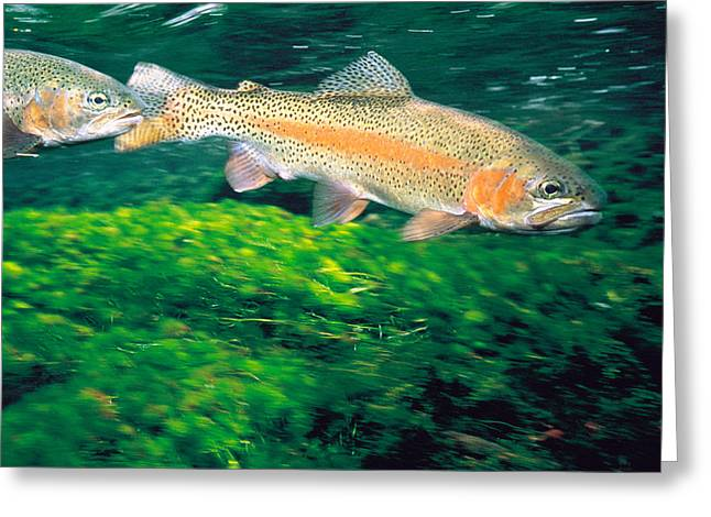 Aquatic Greeting Cards - Two Fishes Swimming Underwater Greeting Card by Panoramic Images