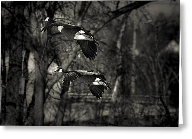 Thomas Young Photography Greeting Cards - Two Flying Geese Greeting Card by Thomas Young