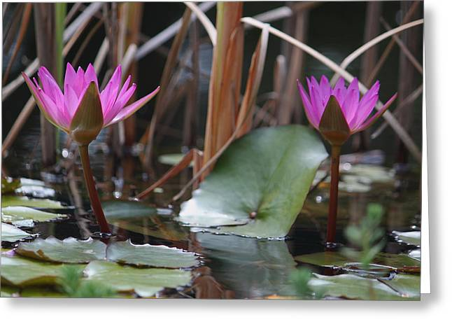 Lily Pad Greeting Cards Greeting Cards - Two Fuchsia Water Lilies Greeting Card by Suzanne Gaff