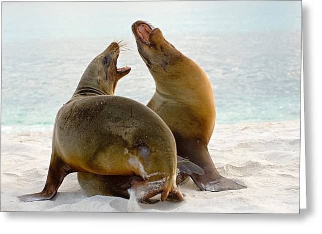 Sea Lions Greeting Cards - Two Galapagos Sea Lions Zalophus Greeting Card by Panoramic Images