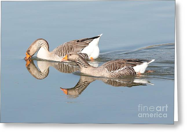 Geese Greeting Cards - Two Geese Reflecting on Water Greeting Card by Carol Groenen