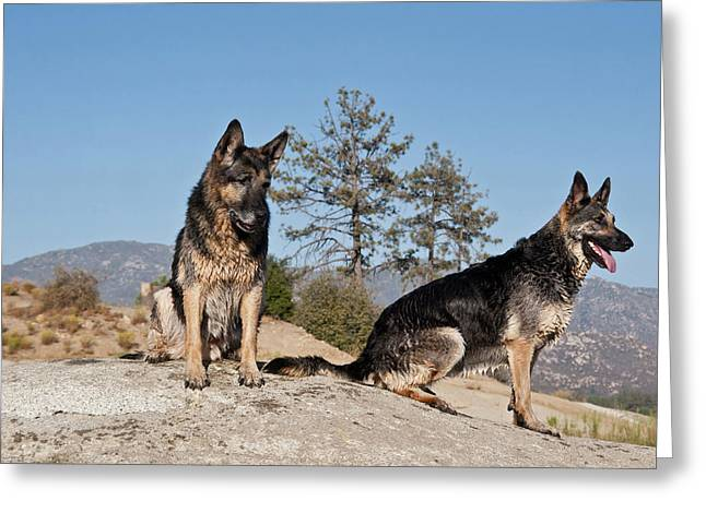 Two German Shepherds Sitting On A Rock Greeting Card by Zandria Muench Beraldo
