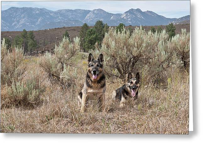 Two German Shepherds Together Greeting Card by Zandria Muench Beraldo