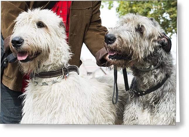 Standard Schnauzer Greeting Cards - Two Giant schnauzer dogs Greeting Card by Deyan Georgiev