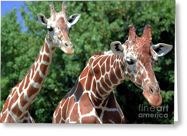 Struckle Greeting Cards - Two Giraffes Greeting Card by Kathleen Struckle
