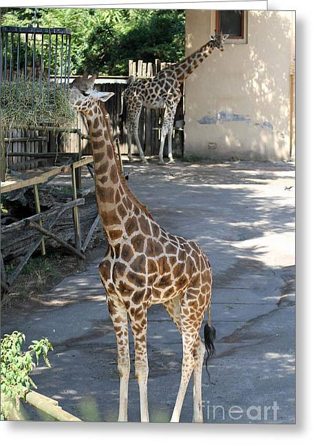 Savannah Parks Gardens Greeting Cards - Two Giraffes With Long Necks While They Eat In A Zoo Greeting Card by Federico Candoni