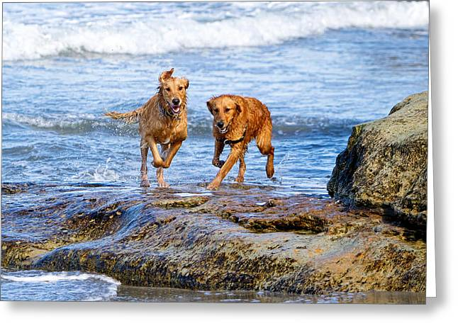 Diving Dog Greeting Cards - Two Golden Retriever Dogs Running on Beach Rocks Greeting Card by Susan  Schmitz