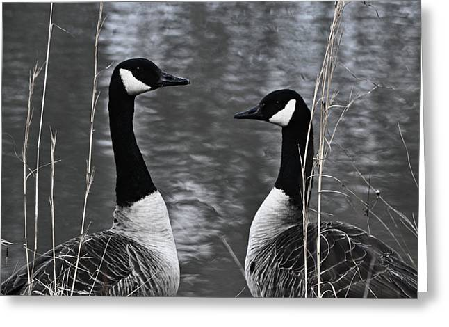 Maydale Greeting Cards - Two Goose Tango Greeting Card by Mary Zeman