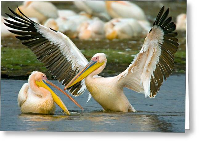 Great Birds Greeting Cards - Two Great White Pelicans Wading Greeting Card by Panoramic Images