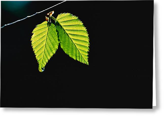 Close Up Photography Greeting Cards - Two Green Leaves On Thin Branch On Black Greeting Card by Panoramic Images
