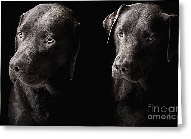 Chocolate Lab Greeting Cards - Two handsome chocolate labradors Greeting Card by Justin Paget