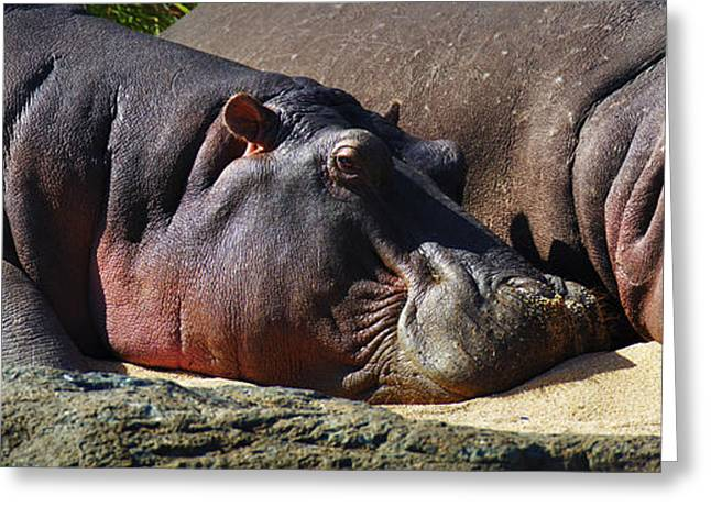 Two Animals Greeting Cards - Two Hippos sleeping on riverbank Greeting Card by Johan Swanepoel