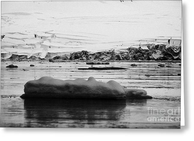 Fournier Greeting Cards - two humpback whales megaptera novaeangliae logging or sleeping among floating ice in Fournier Bay An Greeting Card by Joe Fox