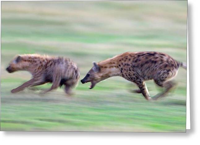 Playful Greeting Cards - Two Hyenas Running In A Field Greeting Card by Panoramic Images