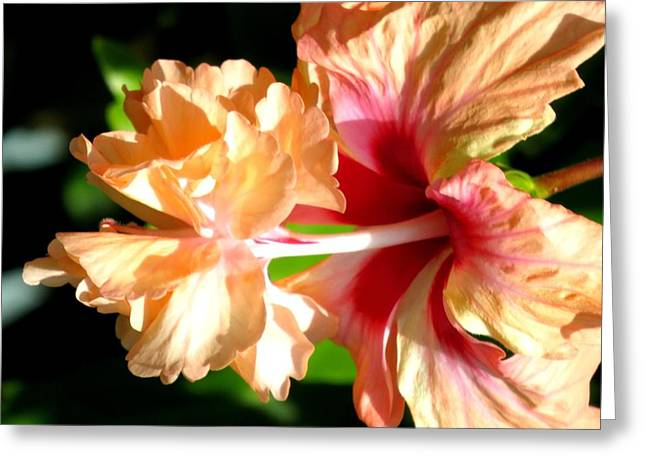 Hibiscus Greeting Cards - Two in one Greeting Card by Zina Stromberg