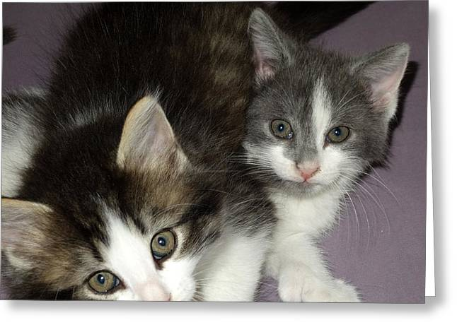 Two Kittens Greeting Card by Diane Lent