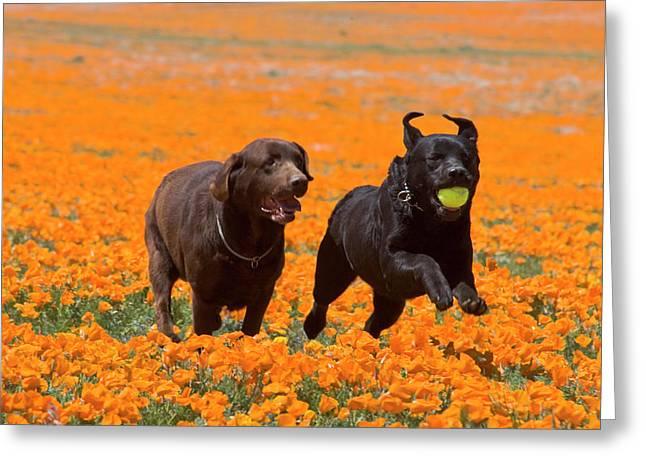 Two Labrador Retrievers Running Greeting Card by Zandria Muench Beraldo