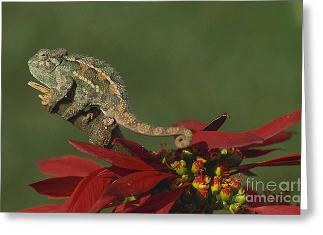 Flowers On Line Greeting Cards - Two-lined Chameleon Greeting Card by Art Wolfe
