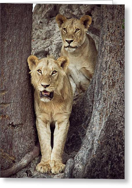 Two Lions Standing Together Greeting Card by Sheila Haddad