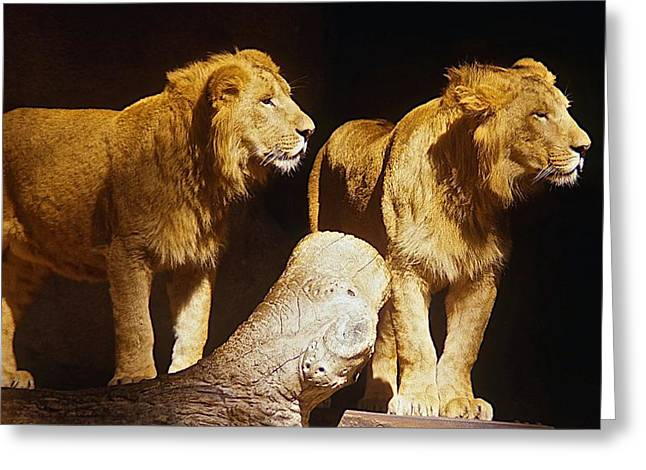 Lions Greeting Cards - Two Lions Greeting Card by Stuart Litoff