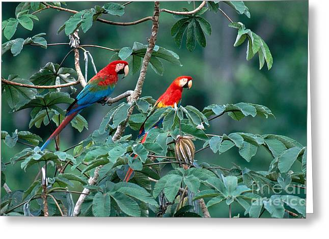 Blue Macaws Greeting Cards - Two Macaws Greeting Card by Art Wolfe