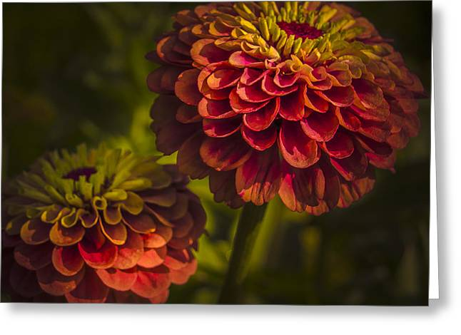 Asters Greeting Cards - Two Magellan Zinnias Greeting Card by Julie Palencia