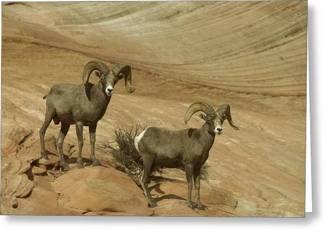 Living Things Greeting Cards - Two Male Rams At Zion Greeting Card by Jeff  Swan