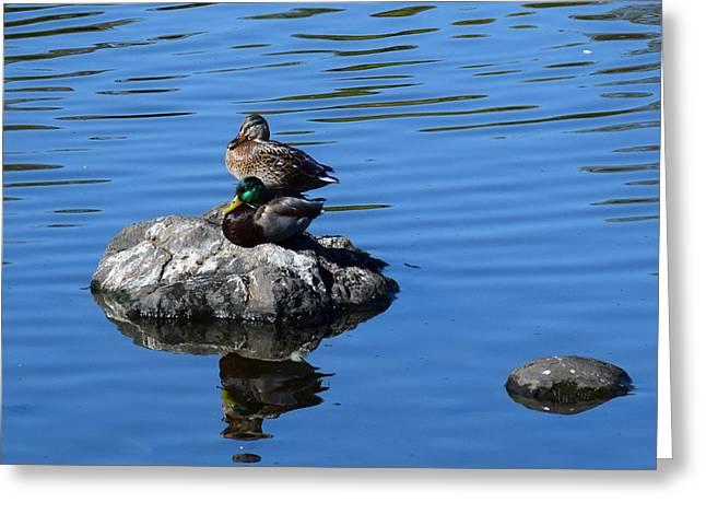 Wildlife Refuge. Greeting Cards - Two Mallard Ducks Greeting Card by Michele  Avanti