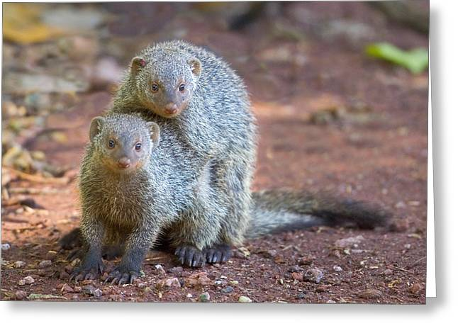 Mud Greeting Cards - Two Mongoose Mating, Lake Manyara Greeting Card by Panoramic Images