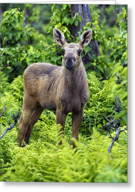 Three-quarter Length Greeting Cards - Two-month-old Moose Calf Standing In Greeting Card by Philippe Henry