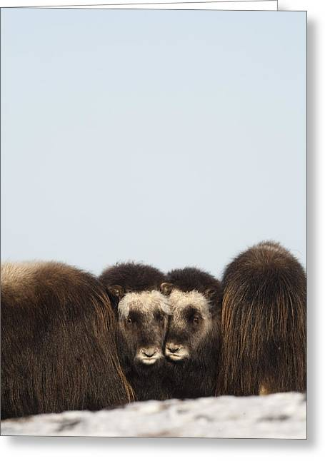 Middle Ground Greeting Cards - Two Muskox Calves Protected In The Greeting Card by Milo Burcham