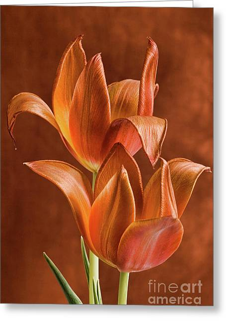 Linda Matlow Greeting Cards - Two orange red Tulips entwined Greeting Card by Linda Matlow