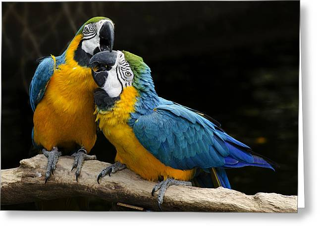 Sweet Kiss Greeting Cards - Two Parrots Squawking Greeting Card by Dave Dilli