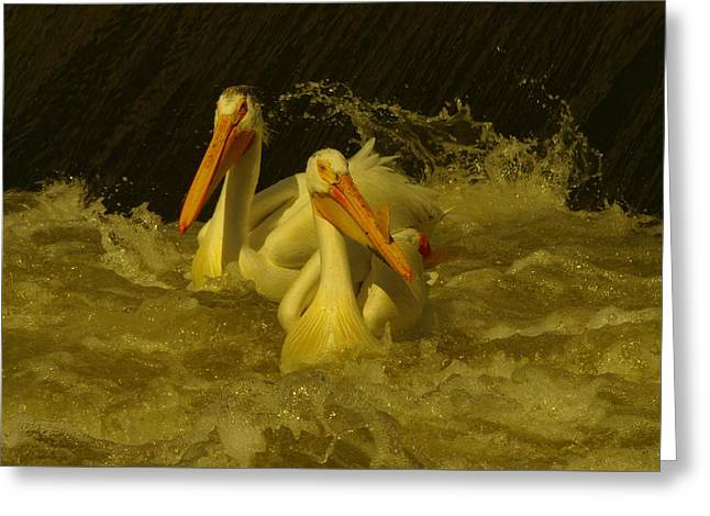 Migratory Bird Greeting Cards - Two Pelicans In Wild Water Greeting Card by Jeff  Swan